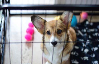 Errorless Puppy Housetraining