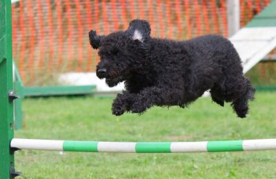 black dog jumping