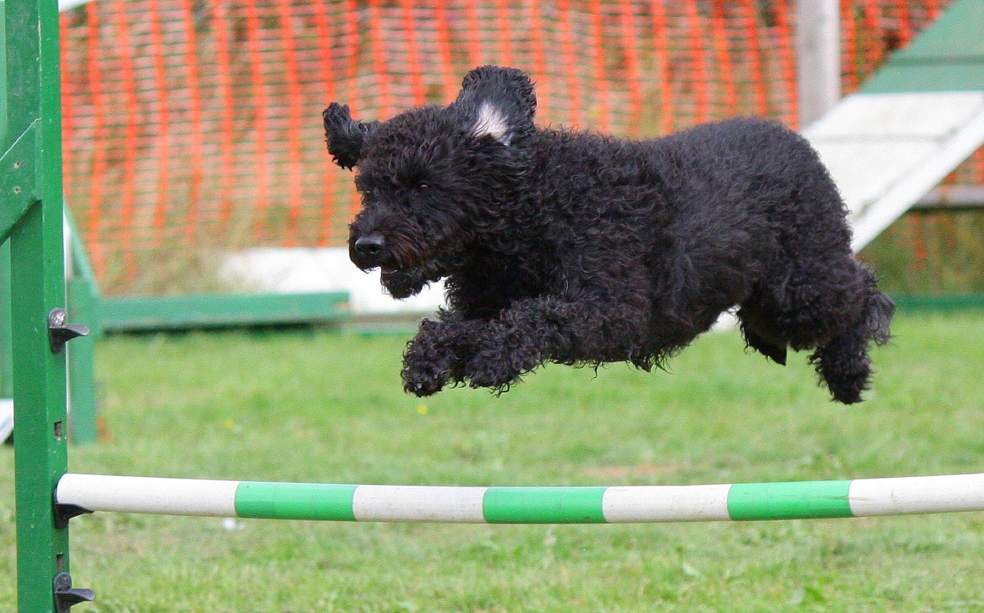 black dog jumping