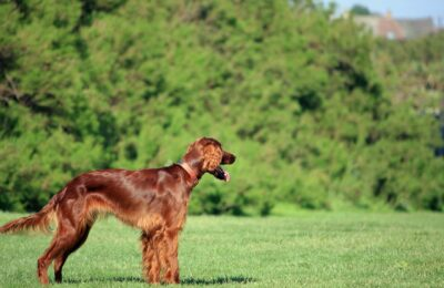irish setter in a park
