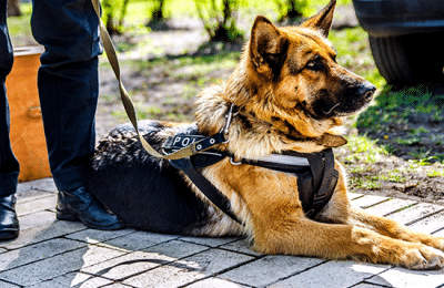 American Working Dogs